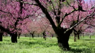 Peach Blossoms; DOLLY SHOT video