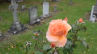 Peach coloured Rose blowing in breeze cemetery video