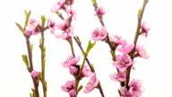 Peach flower growing timelapse video