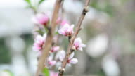 Peach flowers. video