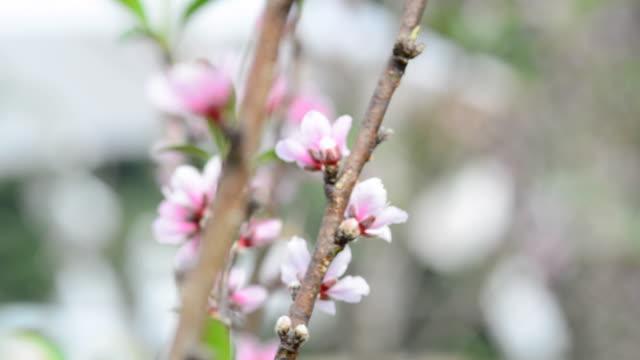 Peach flowers. video
