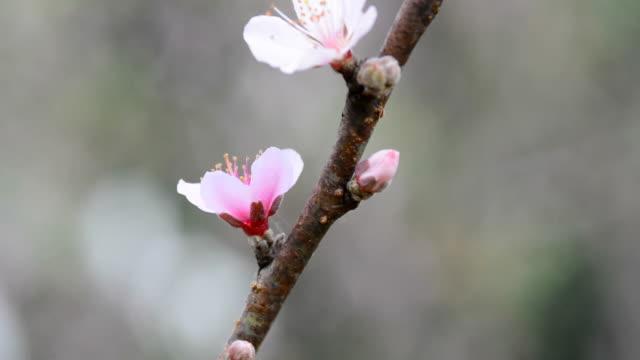 Peach flowers video