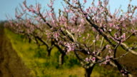 Peach garden, DOF video