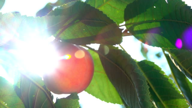 Peach on a tree branch in the sun video