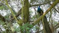 Peacock Birds video
