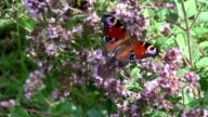 Peacock butterfly and bumblebee on oregano video