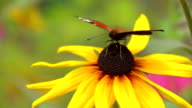 Peacock butterfly crawling on yellow coneflower and flying away. FullHD close up video video