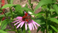 Peacock butterfly on Echinacea medical flower video