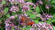 Peacock butterfly on oregano video