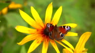 Peacock butterfly on yellow rudbeckia flower. FullHD close up video video