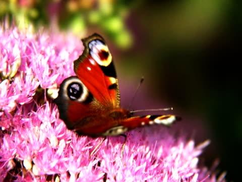 NTSC Peacock butterfly video