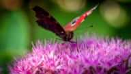 SLOW MOTION: Peacock Butterfly video
