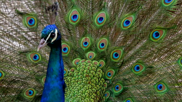 Peacock displaying colorful feathered tail video