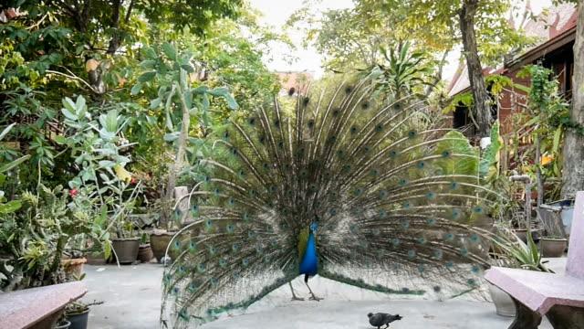 Peacock feathers beautiful bird. video