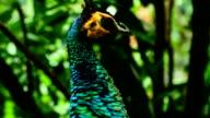 Peacock head video