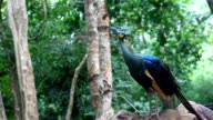 peacock in natural forest video