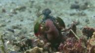 Peacock Mantis Shrimp video