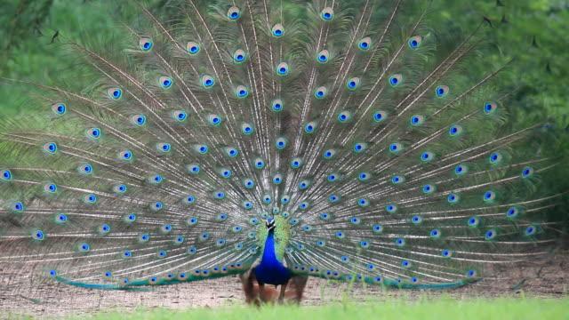 Peacock singing video