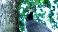 Peacock (HD) video