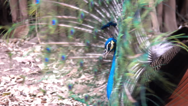 Peacock video
