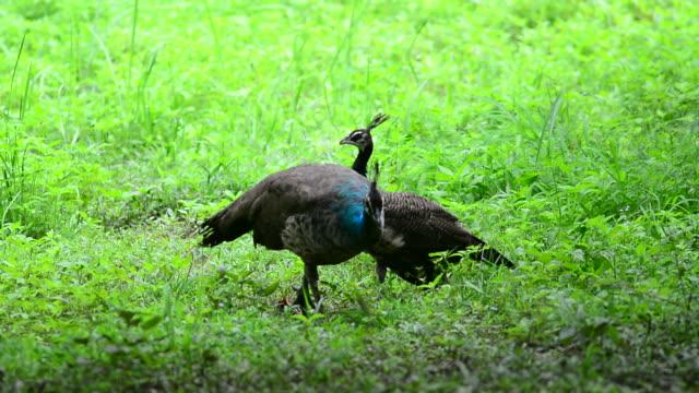 Peacock video