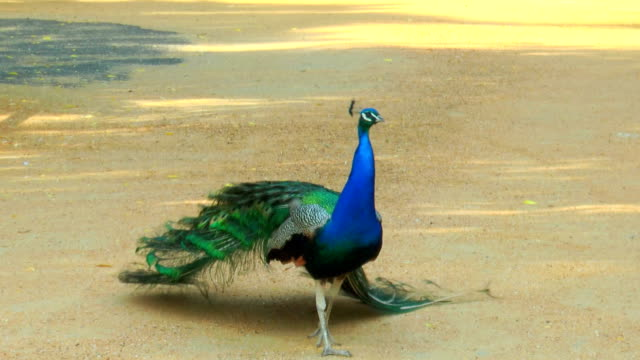 Peacock walking on the sandy path video
