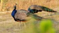 Peacocks graze in the wild. video