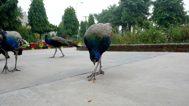 Peacocks in the city Park. India video
