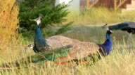 Peacocks in the wild. video