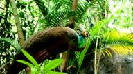 Peafowl video