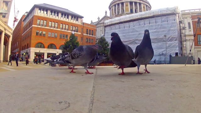 Peageons feeding near St. Paul's Cathedral in London video