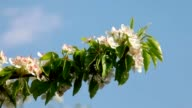 Pear branch with blossom trusses and new green leaves, shaking in the spring light wind. video