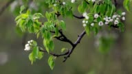 Pear branch with blossom trusses and new leaves, trembling in the spring light wind. video