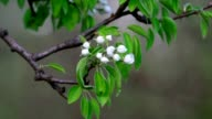 Pear branch with white blossom trusses and new green leaves, waving in the spring light wind on blur background. video