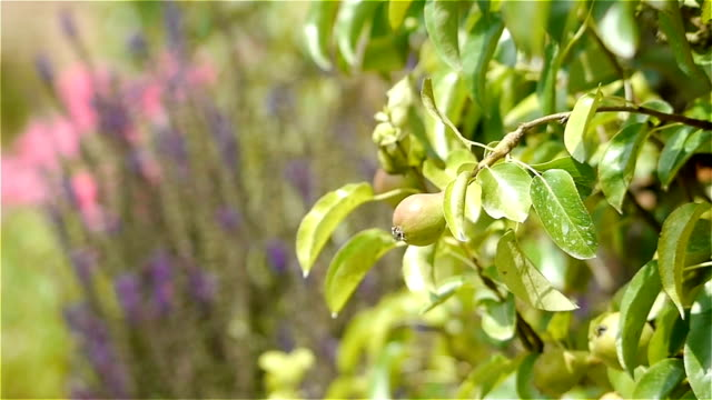 Pear tree at an old walled botanical garden video