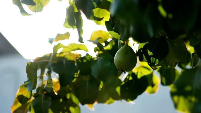 Pear tree branch sunlight glare beautiful video nature video