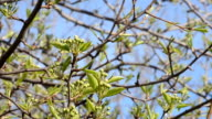 Pear tree branches with buds of flowers video
