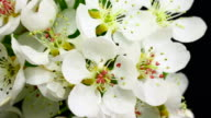 Pear tree flowers blooming 4K video