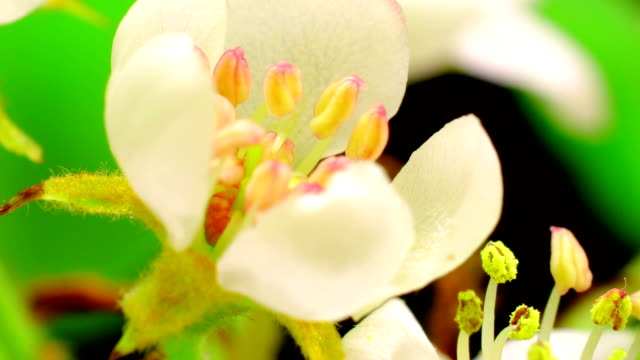 Pear tree flowers blooming video