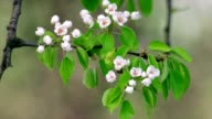 Pear twig with white blossom trusses and new green leaves, waving in spring light wind on blur background. video