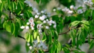 Pear white blossom trusses with orange stamens and new green leaves, waving in the spring light wind on blur background. video