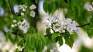 Pear white blossom trusses with red stamens and new green leaves, waving in the spring light wind on blur background. video