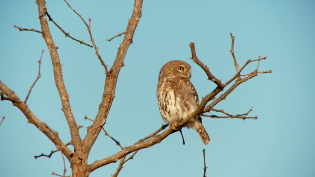 Pearl Spotted Owl video