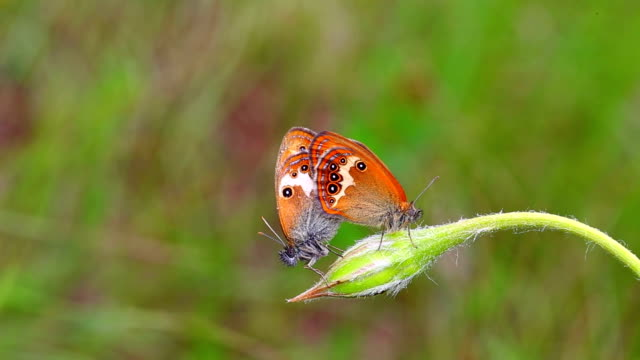 Pearly Heath Butterfly (Coenonympha arcania) video