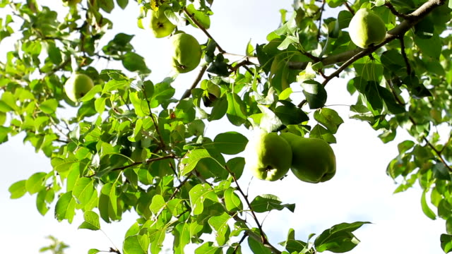 Pears on the tree. video