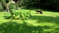 peasant girl in dress and flip-flop mow lawn with grass cutter in yard. FullHD video