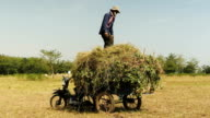 Peasant loading grass above peanut plants onto a trailer video