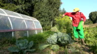 Peasant man with hat spray chemical on cabbage vegetable plant with sprayer video