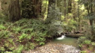 Pebbled creek stream flows old growth forest Redwood National Park California video