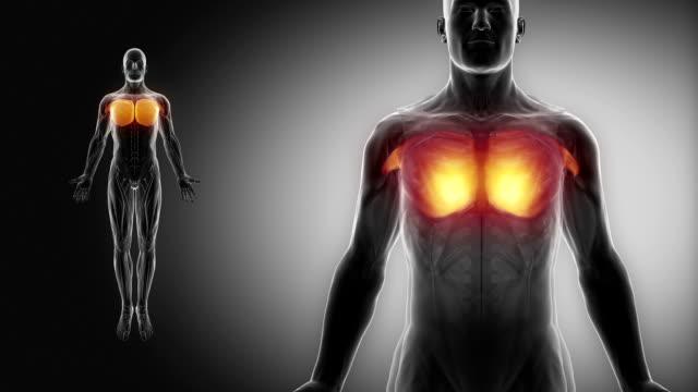 pectoralis major - muscular anatomy in black video
